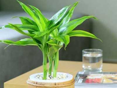 富贵竹加多少水合适 富贵竹放多少水合适
