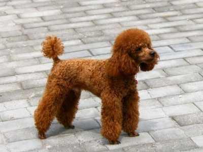 泰迪犬患了细小怎幺治疗 泰迪在家治疗细小方法