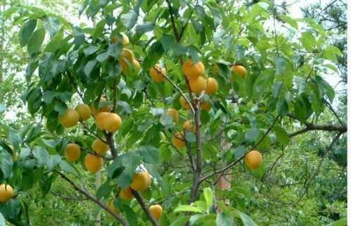 牛人把桃树李树杏树三种果树嫁接成功 杏能嫁接到桃树上吗