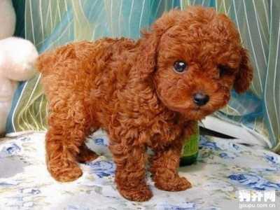 泰迪犬幼犬多大能洗澡 幼泰迪多少天可以洗澡